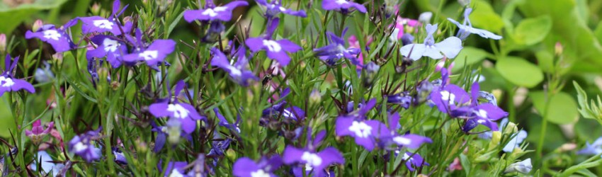 Purple blue pot flowers header