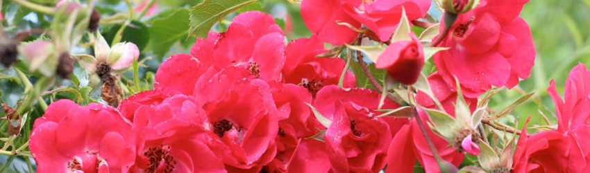 Red flowers header