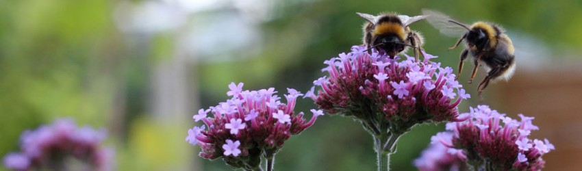 Two bees purple flower header